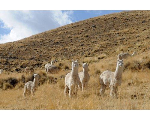 Comment vivent les alpagas au Pérou